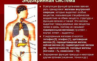 Эндокринная система – биология