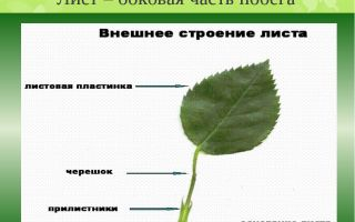 Лист — часть побега. внешнее и внутреннее строение листа – биология