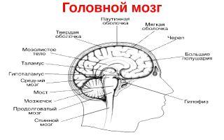 Головной мозг – биология