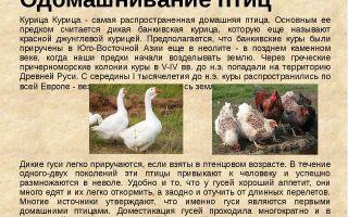 Одомашнивание птиц. птицеводство – биология
