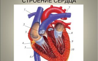Органы кровообращения. строение и работа сердца – биология