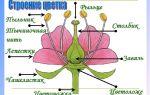 Цветок — генеративный орган, его строение и значение – биология