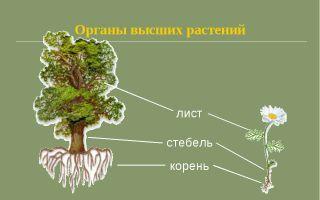 Органы высших растений – биология