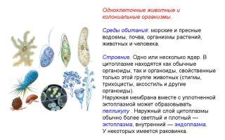 Общая характеристика одноклеточных животных, или простейших – биология