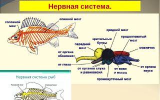 Нервная система и органы чувств рыб – биология