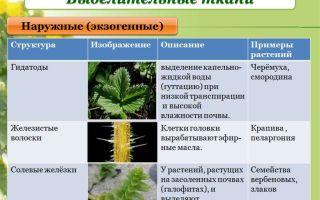 Ткани растений: основные, механические, выделительные – биология
