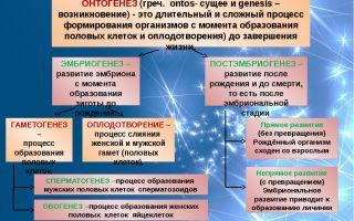 Онтогенез – биология