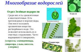 Многообразие и значение водорослей – биология