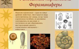Типы корненожки и фораминиферы – биология