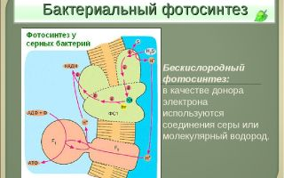 Фотосинтез у бактерий – биология