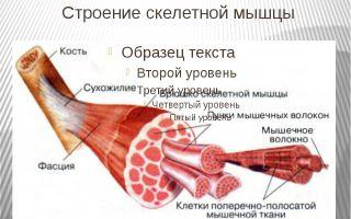Строение и функции скелетных мышц – биология