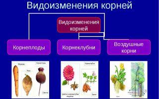 Корень. корневые системы. видоизменения корней – биология