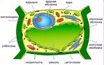 Растительная клетка – биология