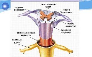 Спинной мозг – биология