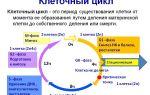 Клеточный цикл – биология