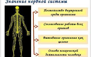 Строение нервной системы и ее значение – биология