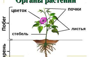 Особенности внешнего строения растений – биология