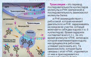 Трансляция при биосинтезе белков – биология