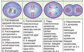 Мейоз – редукционное деление – биология