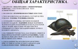 Общая характеристика моллюсков – биология
