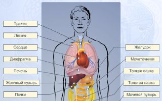 Строение организма человека – биология