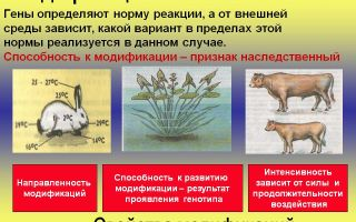 Модификационная изменчивость – биология