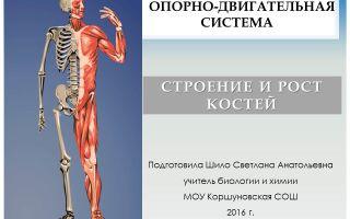 Опорно-двигательная система, состав, строение и рост костей – биология