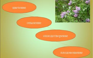 Цветение, опыление, оплодотворение – биология