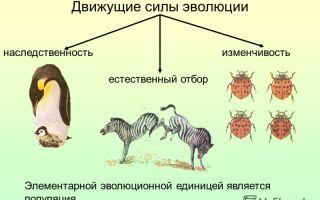 Популяция – элементарная единица эволюции. движущие силы эволюции – биология