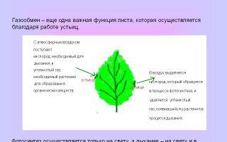 Анатомическое строение листа. газообмен и транспирация. листопад – биология