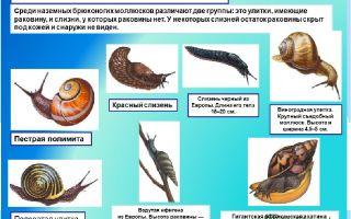 Класс брюхоногие моллюски, или улитки – биология
