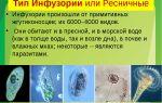 Тип ресничные, или инфузории – биология