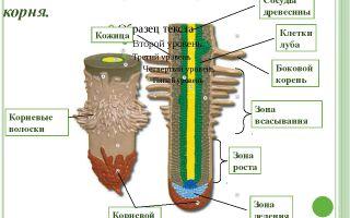 Корень. внешнее и внутреннее строение корня – биология