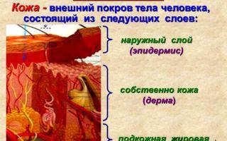 Наружные покровы тела. строение и функции кожи – биология