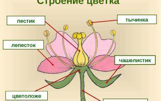 Цветок: строение – биология