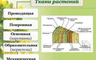 Ткани растений: проводящие – биология