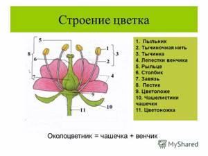 цветок и соцветия биология 6 класс
