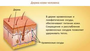 функции кожи человека реферат с картинками тем