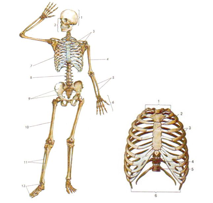 биология скелет картинки нем хорошо