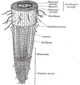 Картинки строение корня растений