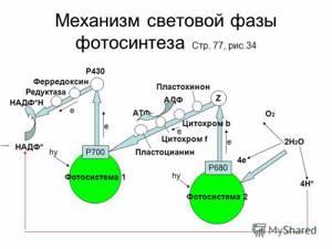 фотосинтез механизм процесса плесневеет