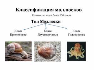 окрашены картинки брюхоногих и двустворчатых моллюсков воду ставим