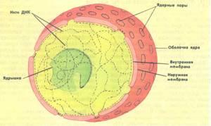 Клетка с ядром картинки